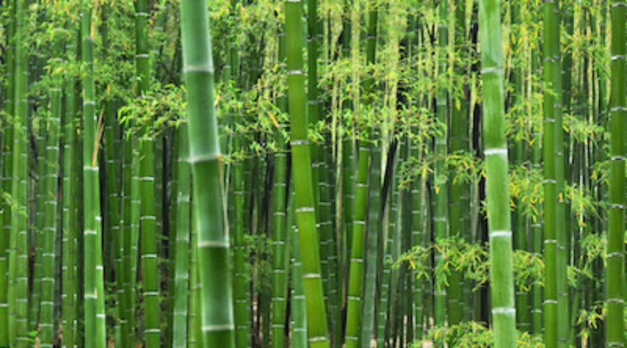 Laurel Brunner: Ignorance and Bamboo