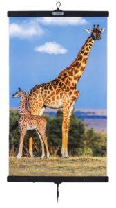 Giraffes 500x893
